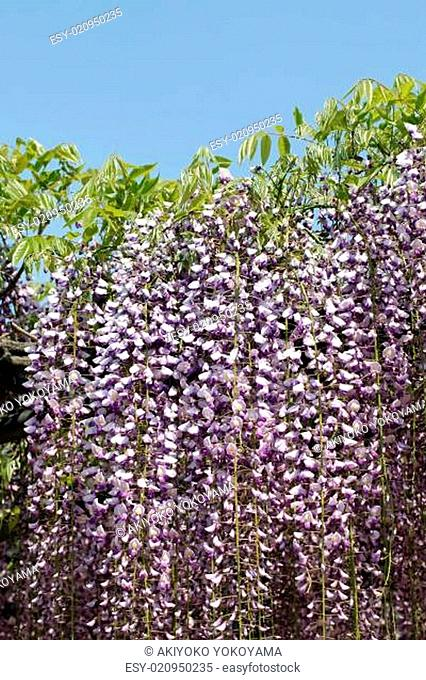 wisteria flowers against the clear blue sky