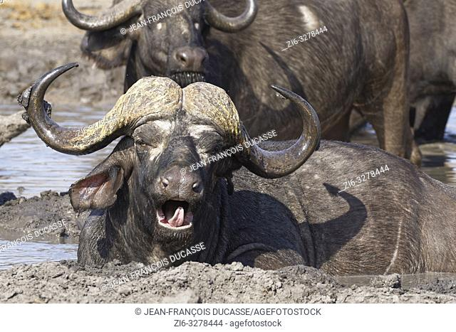 African buffaloes (Syncerus caffer), yawning adult male lying in muddy water, among the herd, at a waterhole, Kruger National Park, South Africa, Africa