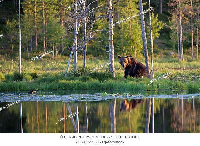 Brown Bear Ursus arctos sitting at lakeshore, Finland