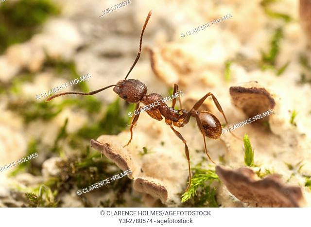A Spine-waisted Ant (Aphaenogaster fulva) explores the fungus and moss covered surface of a fallen dead tree