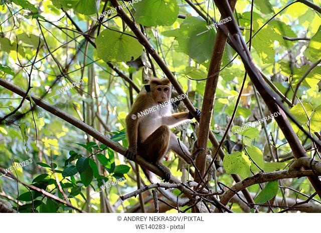 toque macaque (Macaca sinica) sitting on a tree branch, Hikkaduwa, Sri Lanka, South Asia