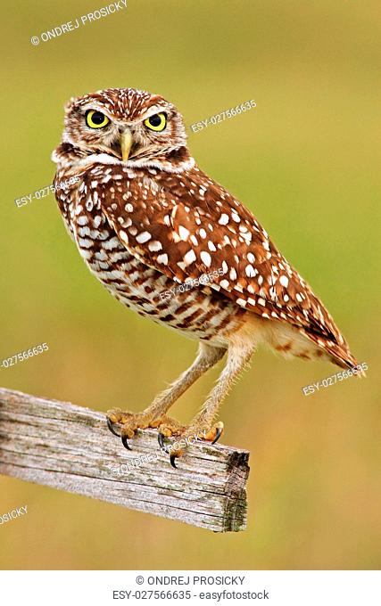 Burrowing Owl, Athene cunicularia, sitting in wooden cross in Ca