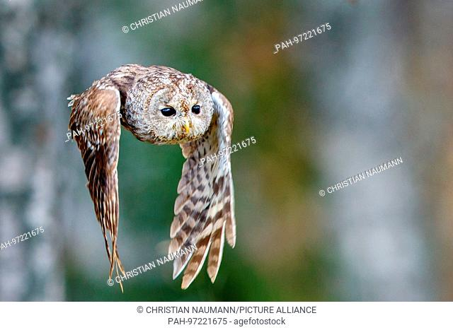 A Tawny Owl, bown Owl (Strix aluco) flies in autumn looking for prey. | usage worldwide
