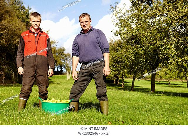 A father and son working in a family business, harvesting cider apples in an orchard