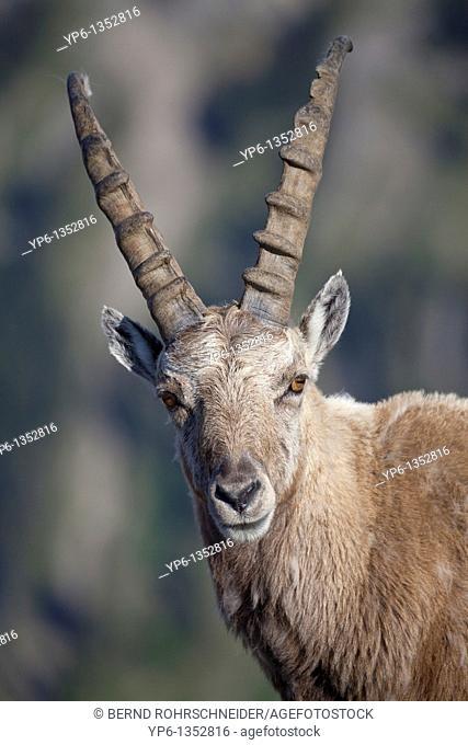 portrait of a male Alpine Ibex Capra ibex, Niederhorn, Switzerland