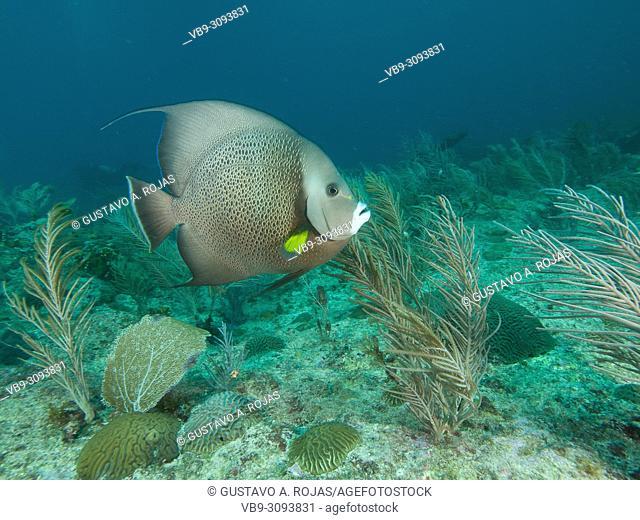 Pomacanthus arcuatus- angelfish, los roques venezuela