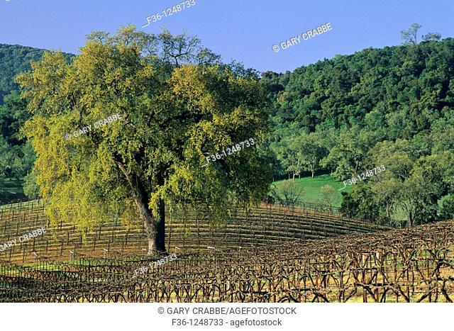Oak tree in vineyard in early spring, along Vineyard Drive, Paso Robles, San Luis Obispo County, California