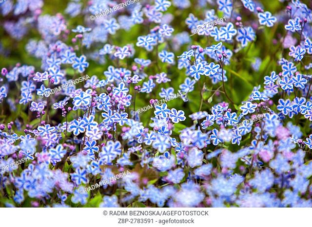 """Omphalodes cappadocica """""""" Starry Eyes """""""" know as Cappadocian navelwort in bloom"""
