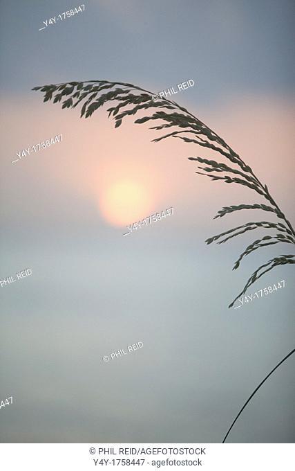 Sea oats at sunrise. Palm Beach, FL, USA