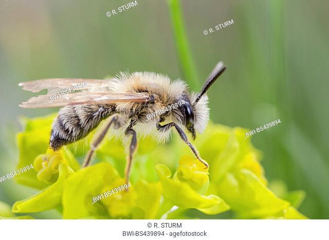 wild bee on spruge flowers, Germany, Bavaria