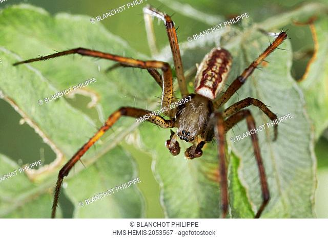 France, Araneae, Araneidae, Wasp spider (Argiope bruennichi), male