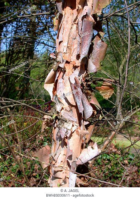River Birch, Black Birch (Betula nigra), trunk