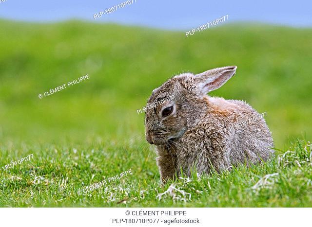 European rabbit (Oryctolagus cuniculus) grooming fur in meadow