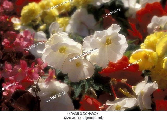 begonia flowers, enniskerry, south ireland