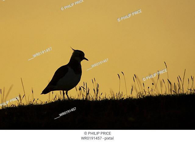 Lapwing Vanellus vanelllus silhouetted against a setting sun Scarinish, Argyll, Scotland, UK