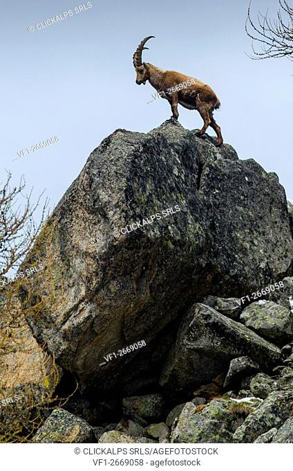 Ibex in springtime (Soana Valley, Piedmont, Gran Paradiso National Park, Italy)