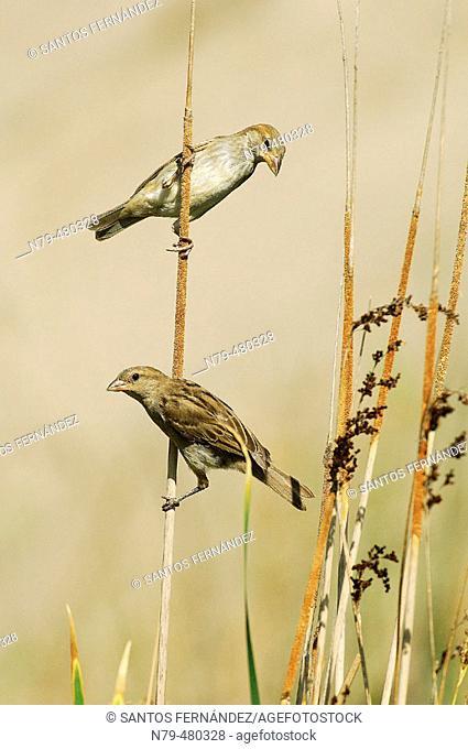 House Sparrow (Passer domesticus). Río Ojailén, Puertollano, Ciudad Real, Spain