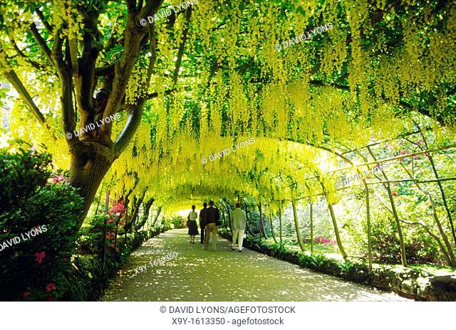 Bodnant Gardens in the Vale of Conwy, Gwynedd, north Wales, UK  The famous laburnum arch  Near Conwy, Bangor, Colwyn Bay