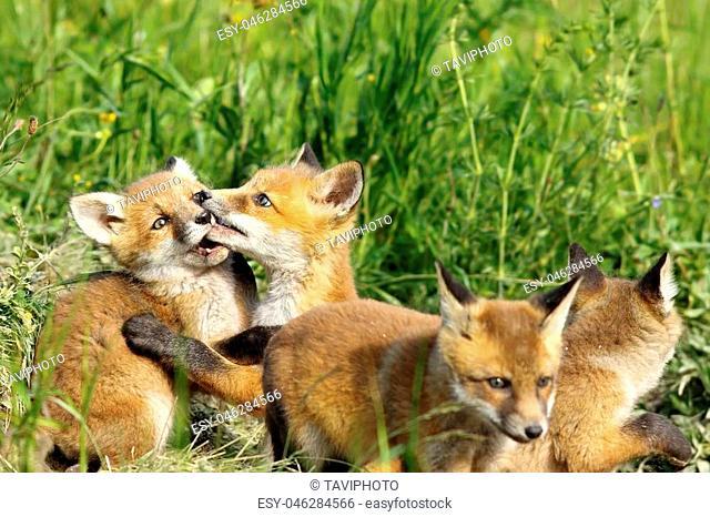 cute european red fox cub playing near the burrow, image of wild animals ( Vulpes vulpes )
