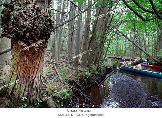 Atlantic White Cedar swamp; Chamaecyparis thyoides; NJ, Pine Barrens, Wharton State Forest, Oswego River