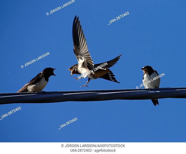 Barn Swallow (Hirundo rustica). Vastervik, Smaland, Sweden