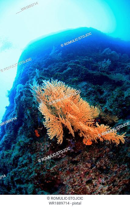 Orange Red Colored Sea Fan, Adriatic Sea, Croatia, Europe