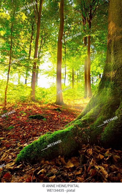 sunrays shining into a beech forest, horizontal, location:warstein, sauerland, germany