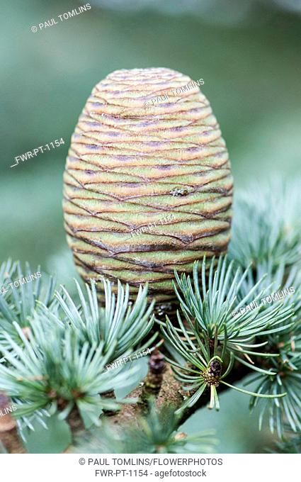 Blue atlas cedar, Cedrus atlantica Glauca Group, A cone hanging on a branch showing the rosettes of needles----