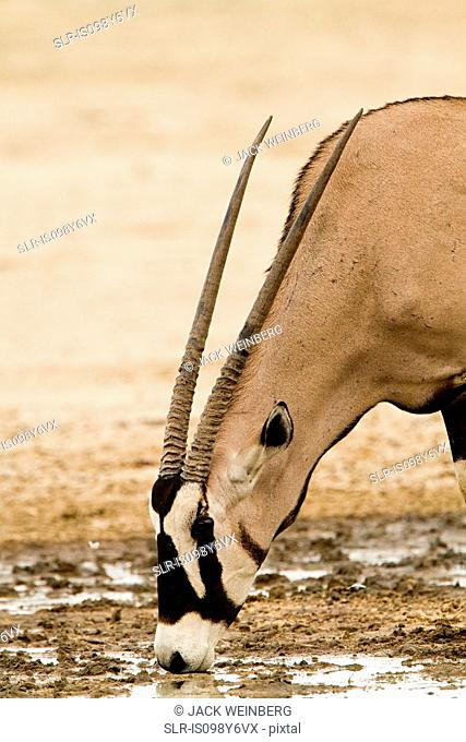 Gemsbok drinking water