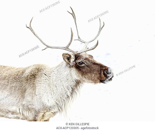 Boreal Woodland Caribou, Rangifer tarandus, captive animal, Manitoba, Canada