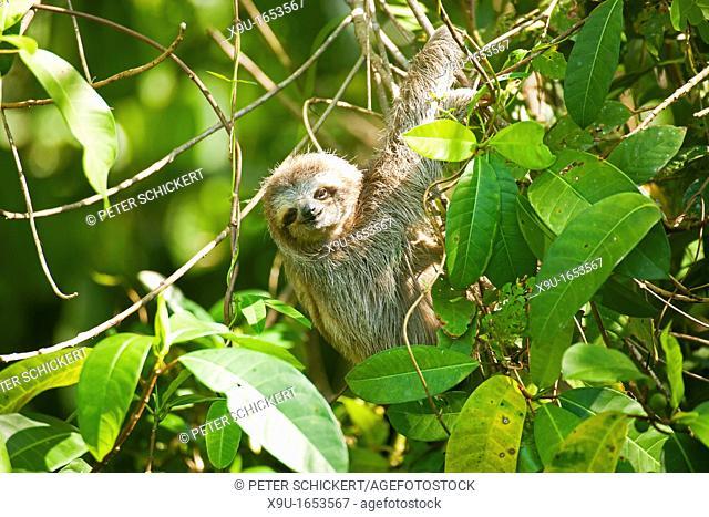 three-toed sloth Bradypus variegatus, Bastimentos Island, Bocas del Toro, Panama, Central America