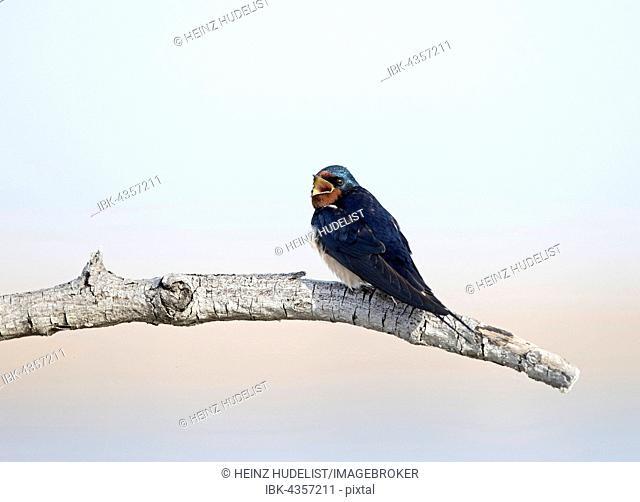Barn Swallow (Hirundo rustica) sitting on branch, calling, Lake Neusiedl, Burgenland, Austria