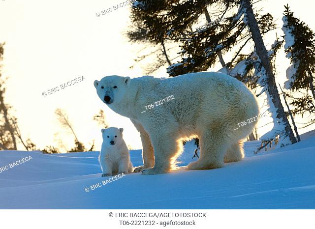 Polar bear (Ursus maritimus) female with her 3 months cub, soon after emerging from their den in March. Wapusk National Park, Churchill, Manitoba, Canada