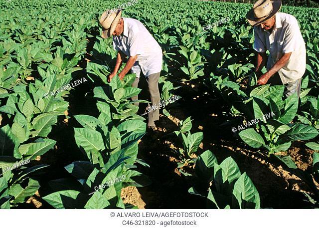 Hoyo de Monterrey, San Juan y Martínez. Tobacco plantation. Pinar del Río province. Cuba