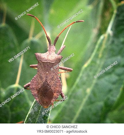 A brown bug perches on a green plant in Prado del Rey, Sierra de Cadiz, Andalusia, Spain