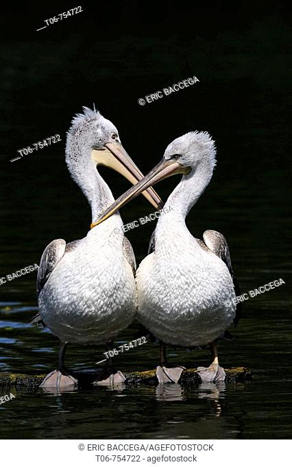 Two Dalmatian pelican grooming on water (Pelecanus crispus) IUCN red list of endangered species VU, vulnerable, seabird