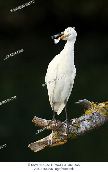 Cattle Egret, perched on a branch, Campania, Italy