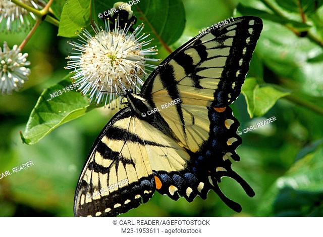 A swallowtail butterfly searches out nectars on an elaborate flower, Pennsylvania, USA