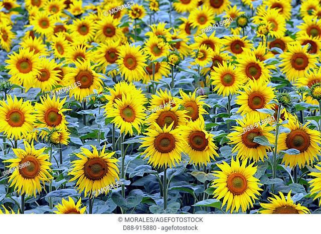 Sunflower field, Helianthus annuus, Alsace, France