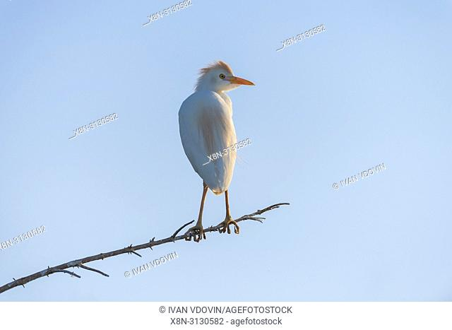 Cattle Egret (Bubulcus ibis), Lake Nzerakera, Rufiji river, Tanzania, East Africa