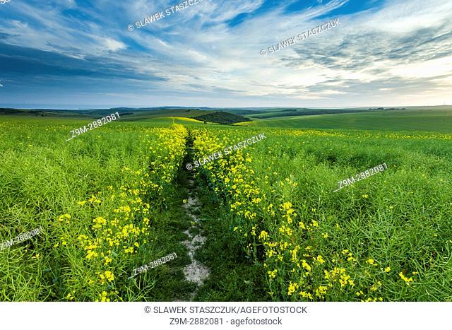 Spring afternoon on a rapeseed field in South Downs National Park, East Sussex, England