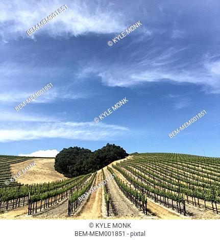 Vineyard on rural hillsides under blue sky