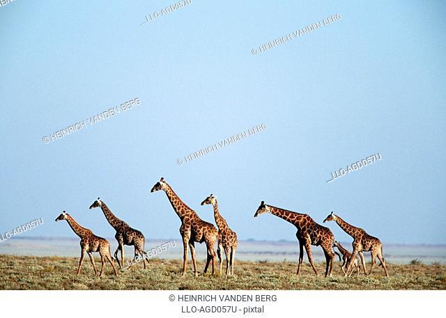 Giraffe Giraffa camelopardalis Herd on an Open Plain  Etosha National Park, Namibia