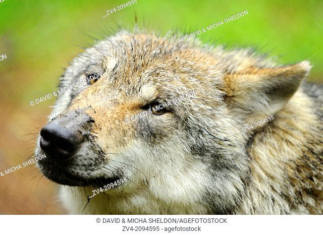 Portrait of a Eurasian wolf (Canis lupus lupus)