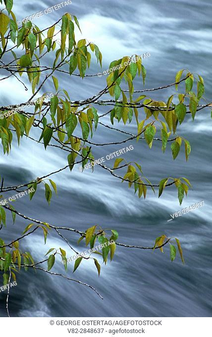 North Santiam River with cottonwood branch, Fisherman's Bend Recreation Area, Salem District Bureau of Land Management, Oregon