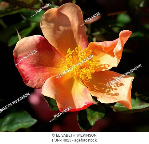 Fragrant single rose starting as yellow, changing into pink then finally crimson