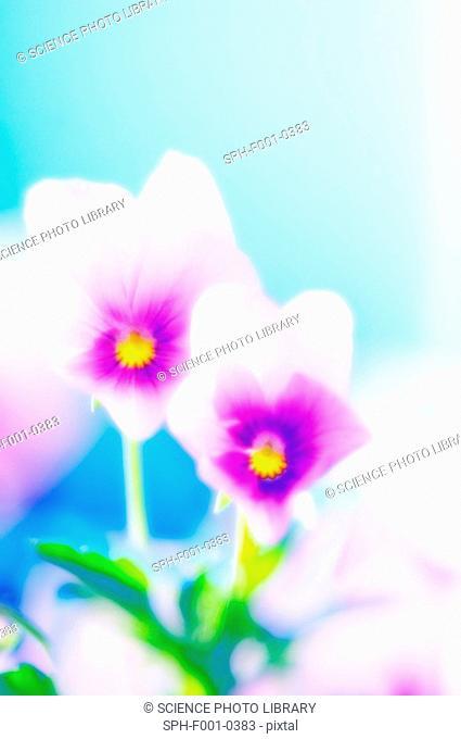 Pansies Viola x wittrockiana