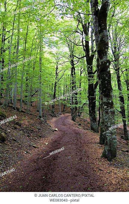 Beechwood, Ordesa National Park, Huesca province, Aragon, Spain
