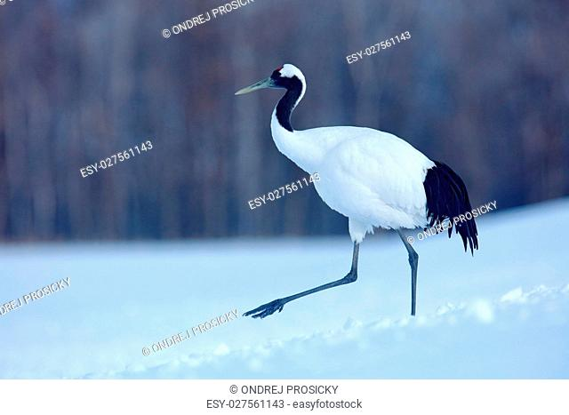 Red-crowned crane, Grus japonensis