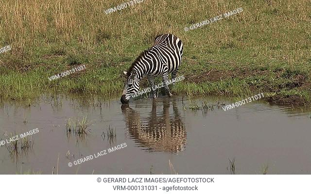 Burchell's Zebra, equus burchelli, Adult entering Water, Masai Mara Park in Kenya, Real Time